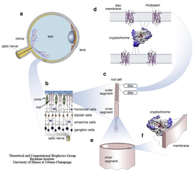 Posición de la proteína cryptochrome en el ojo y la retina. (Schulten et. Al, n.d.). http://www.ks.uiuc.edu/Research/cryptochrome/